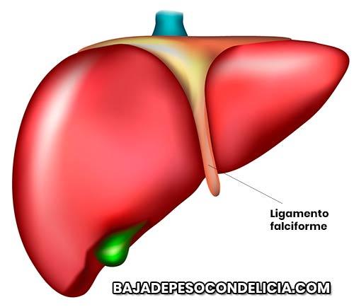 es bueno conocer las diferentes maneras como expulsa las toxinas de nuestro cuerpo, el hígado.